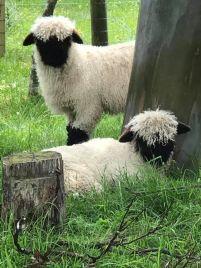 blacknose-sheep-2.jpg.optimal