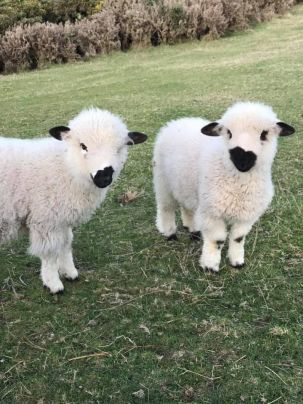blacknose-sheep-4.jpg.optimal