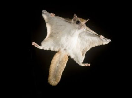 Southern Flying Squirrel (Glaucomys volans) voplaning or gliding at night