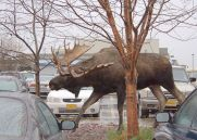 Moose. Yep, he's big. We don't have those in Mandawa.