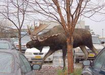 Moose. Yep, he's big. We don't have those in Mandawa.