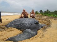 Leatherback Sea Turtle. Dude is humongous.