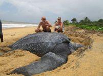 Leatherback Sea Turtle. Dude is humongous.