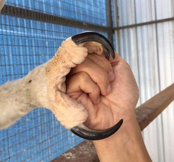 Eagle talons. No wonder they can carry away Lion-Tailed Macaques.