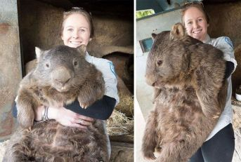 Full grown Wombat. Totes adorbs.