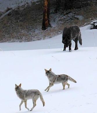 Wolf vs. Coyote. Advantage = Wolf.