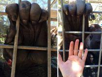 Gorilla hand vs. Human hand.