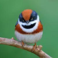 black-throated-bushtit-bird-photography-1-5ea93a36b8349__880