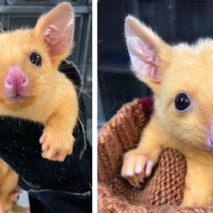 rare-possum